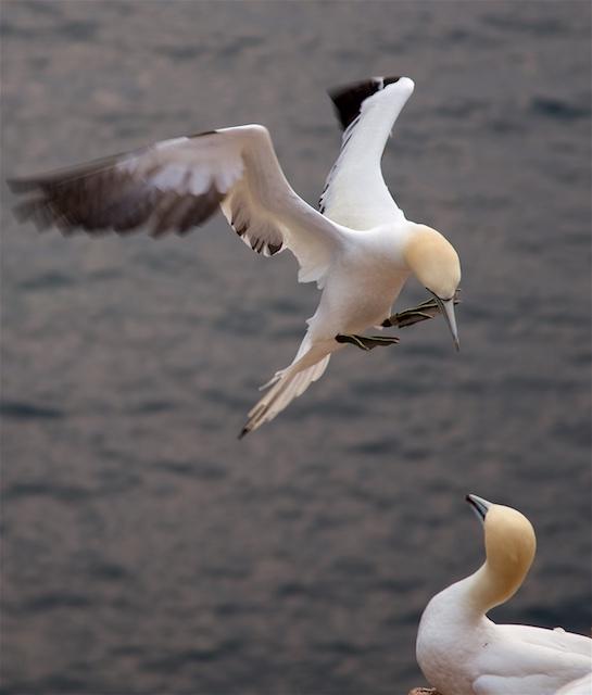 Regina sailing gannet